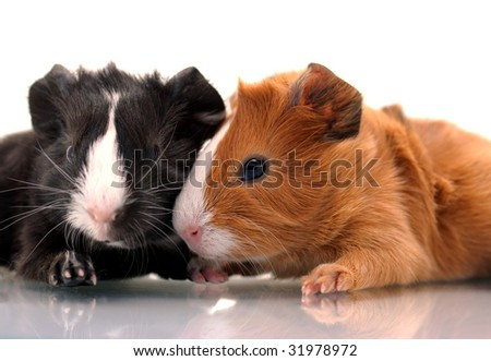 Little guinea pigs