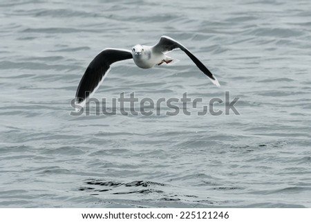 Little Gull flying over the surface of the water.