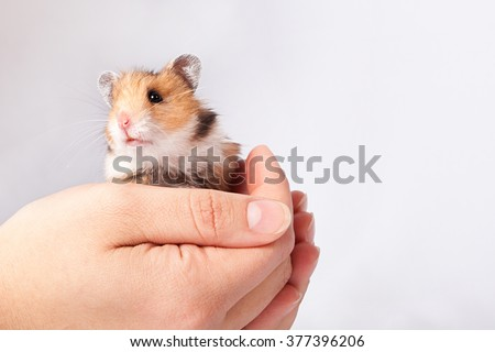 little hamster in the hands of a man on a white background - stock photo