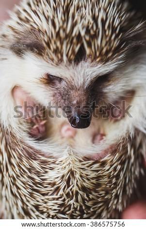 Little Hedgehog - stock photo