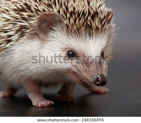 Little hedgehog closeup on dark background - stock photo