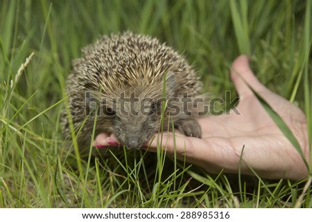 little hedgehog found in the forest sit on the hand - stock photo