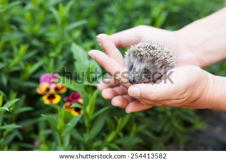 little hedgehog in human hands against the backdrop of greenery. - stock photo