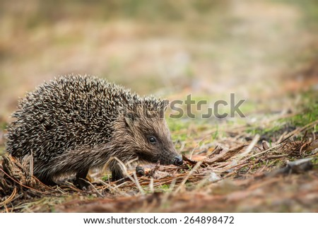 little hedgehog in the forest - stock photo