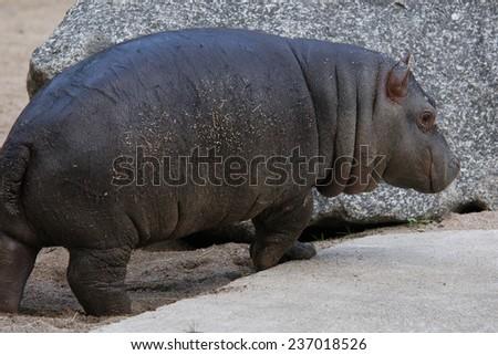Little hippopotamus (Hippopotamus amphibius).  - stock photo