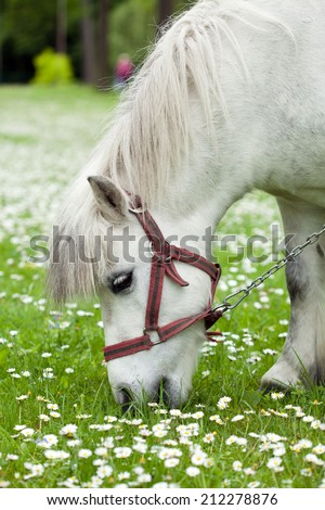 Little horse on a meadow full of daisies - stock photo