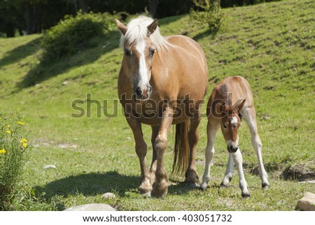 Little horse with his mom - stock photo