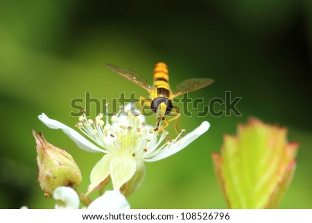 little hoverfly in the nature - stock photo