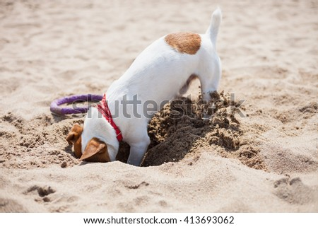 Little Jack Russell puppy playing on the beach digging sand. Cute small domestic dog, good friend for a family and kids. Friendly and playful canine breed - stock photo