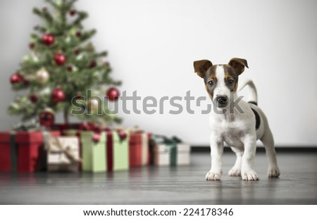 little Jack Russell Terrier, holiday, New Year, christmas - stock photo