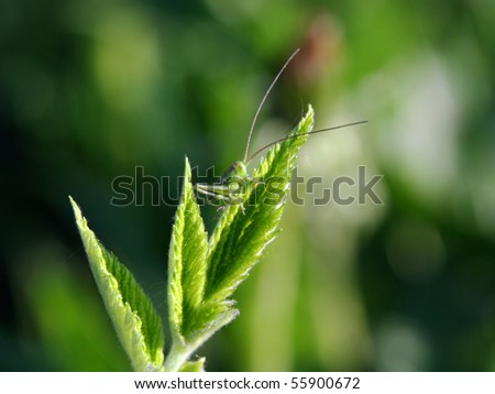 Little katydid sits on edge of green leaf - stock photo
