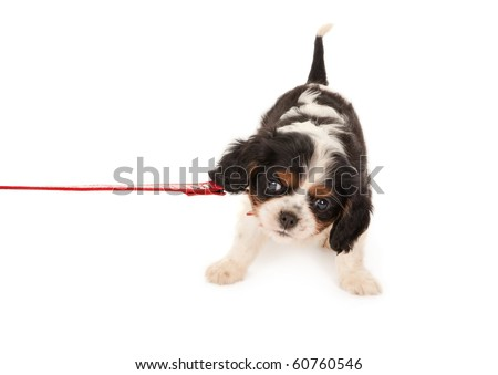 Little King Charles puppy dog protesting on a leash - stock photo