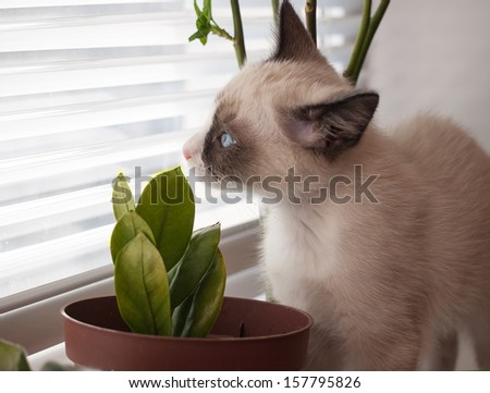 little kitten, breed Snowshoe, sniff home plant - stock photo