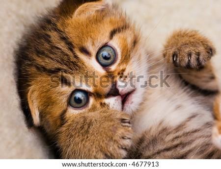 Little kitten close up, shallow DOF - stock photo