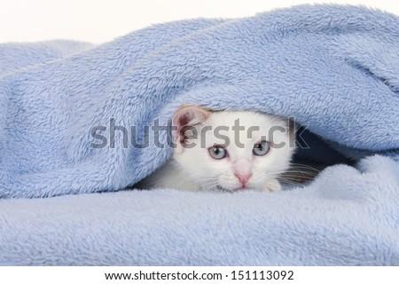 Little kitten hides under a blue blanket - stock photo