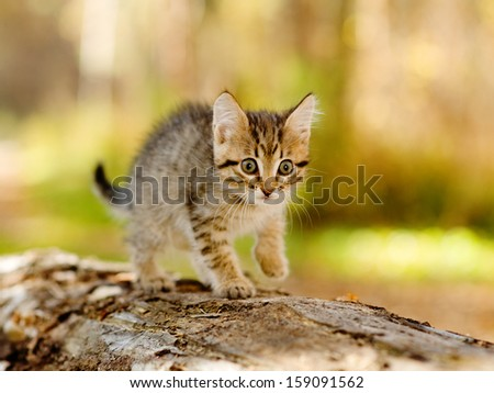 little kitten hunting in forest - stock photo