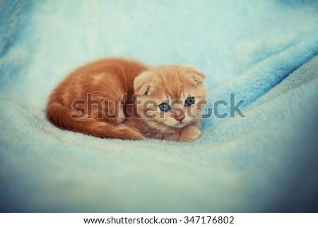 Little kitten lying on the blue blanket - stock photo
