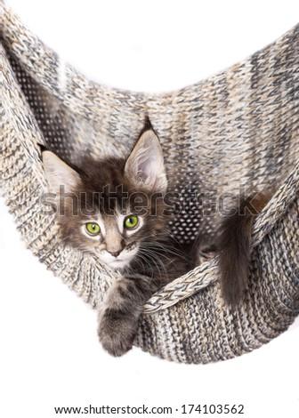 little kitten Maine Coon - stock photo