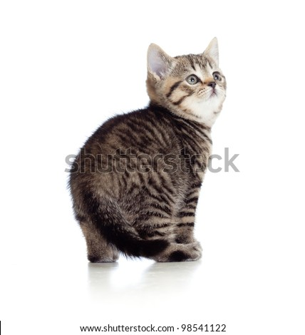 little kitten pure breed striped british isolated - stock photo