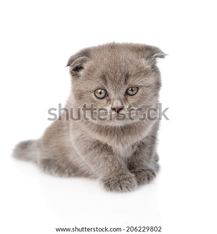 little kitten sitting in front. isolated on white background
