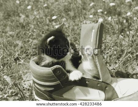 Little kitten sleeping on old shoe Little kitten sitting in boots Cute American shorthair cat kitten - stock photo