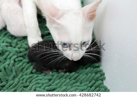 Little kittens are sucking milk and playing with her cat. - stock photo