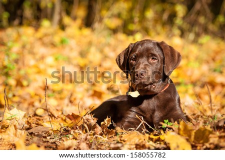 Little labrador puppy with leaf in its mouth lying in the park in autumn