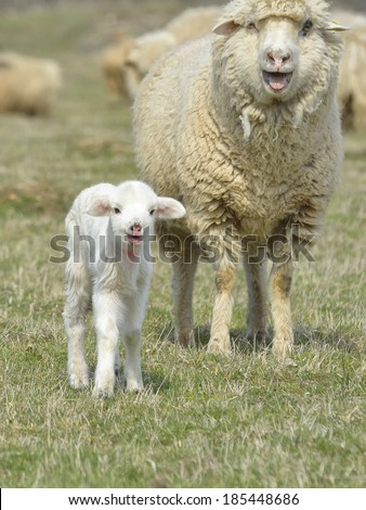 Little lamb and her mother - stock photo