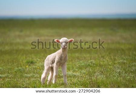little lamb in green field - stock photo