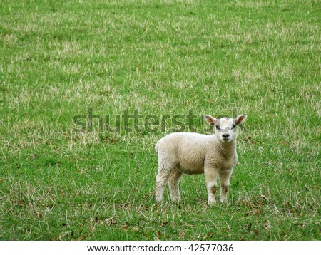 Little lamb in spring - stock photo
