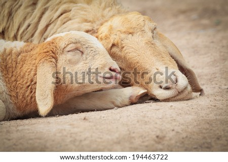 Little Lamb with Mother sheep sleeping - stock photo