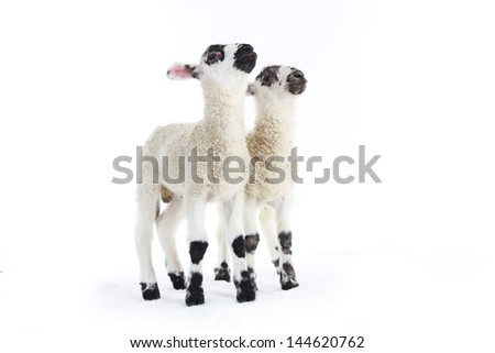 little lambs together