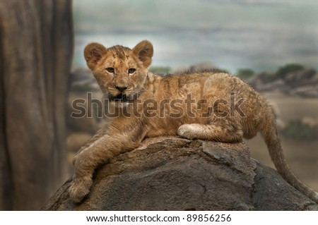 Little lion cub lying on the rock looking towards the camera - stock photo