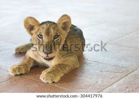 little Lion Cubs looking at something one has its tongue sticking out. - stock photo