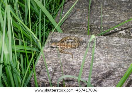 little lizard on planks (moor, Germany) - stock photo