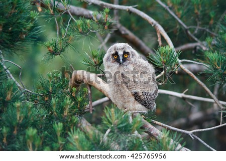 Little long eared owl (Asio otus) sitting on a branch of pine tree. Owlet  - stock photo