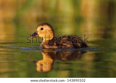 Little Mallard duck Anas platyrhynchos - stock photo