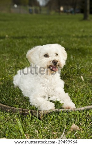 Little Maltese Dog with stick - stock photo
