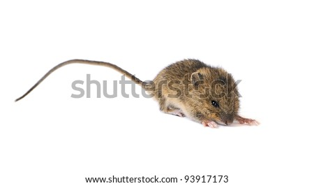 Little mouse ready to jump isolated on white background