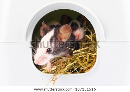 Little mouse sticking nose from hole, close up - stock photo