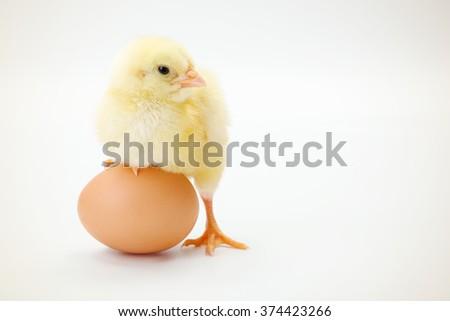 Little newborn chicken standing whit half leg on a whole egg - stock photo