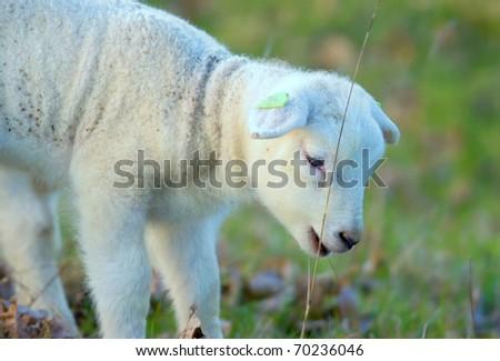 little newborn lamb in springtime - stock photo