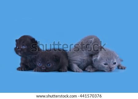 little newborn Scottish kittens isolated on a blue background - stock photo