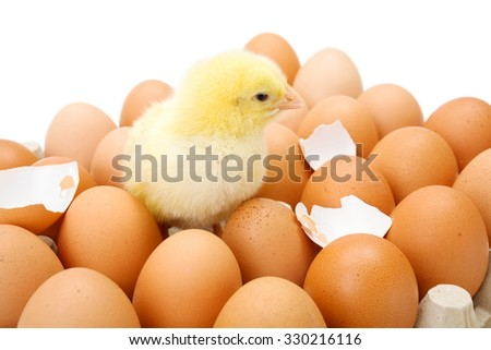 Little newborn yellow chicken in egg tray along broken shells - stock photo