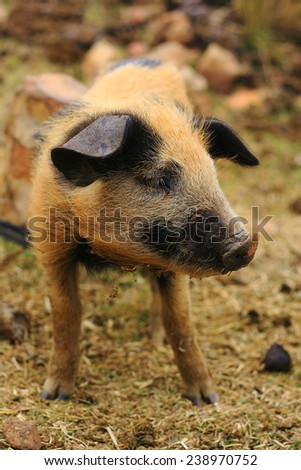 little nice pig mammal cute
