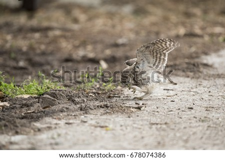 Little owl catching a little snack - steenuil - Athene noctua