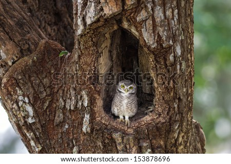 Little Owl in a hollow tree. - stock photo