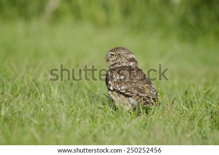 Little owl in the grass - stock photo
