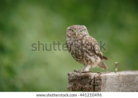 Little owl in the UK on a farmers gate - stock photo