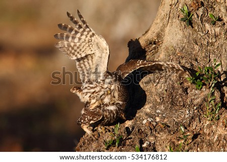 Little owl - Mating ritual